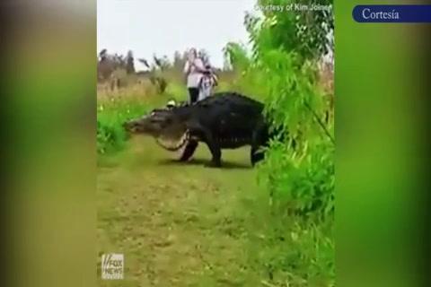 Captan a un cocodrilo gigante