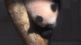 Una bebé panda nacida en Japón se estrena ante la prensa