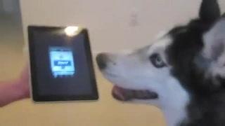 Autotuned Singing Husky Has A Good Voice!