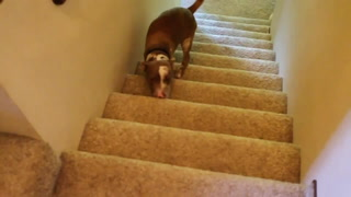 Stairs? No Problem For This Two Legged Pup!