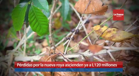 Pérdidas por la nueva roya ascienden ya a L120 millones
