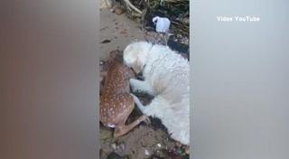 Perro salva un Ciervo de morir ahogado en el mar