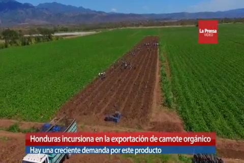 Honduras incursiona en la exportación de camote orgánico