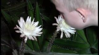 La flor de un cactus de Arizona, 'reina' por solo una noche