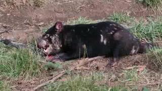 Demonios de Tasmania, en peligro por un cáncer facial
