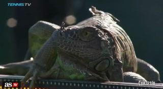 Una enorme iguana obliga a detener un partido