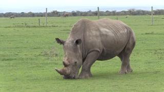 Muere en Kenia último macho de rinoceronte blanco del norte