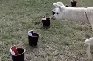 VIDEO: La Llama