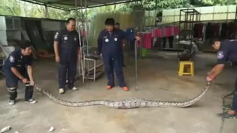 Obreros encuentra una enorme pitón en el piso de una casa