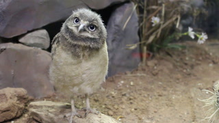 A one-month-old burrowing owlet looks through the glass of its exhibit at the Lake Superior Zoo Wednesday with curiosity. (Samantha Erkkila / serkkila@duluthnews.com)