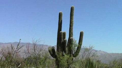Microchips para vigilar que no se roben los gigantescos cactus de Arizona