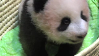 Nombran 'Xiang Xiang' a nuevo panda japonés