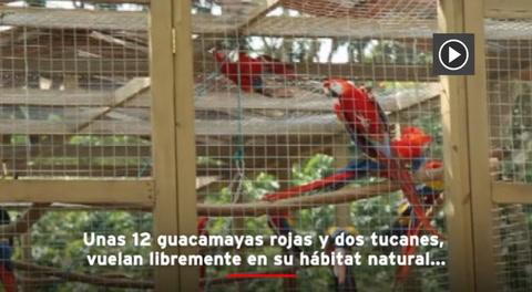 Algarabía en Copán tras liberación de 12 guaras rojas