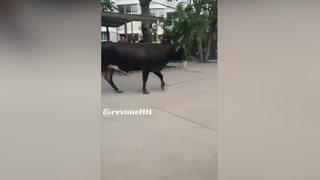 Increíble: Vaca se pasea por los predios de la UNAH