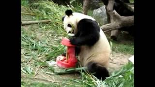 "Panda ""Chulina"" celebra su cumpleaños en Madrid"