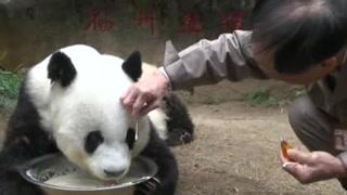 Muere 'Basi', el panda más viejo del mundo