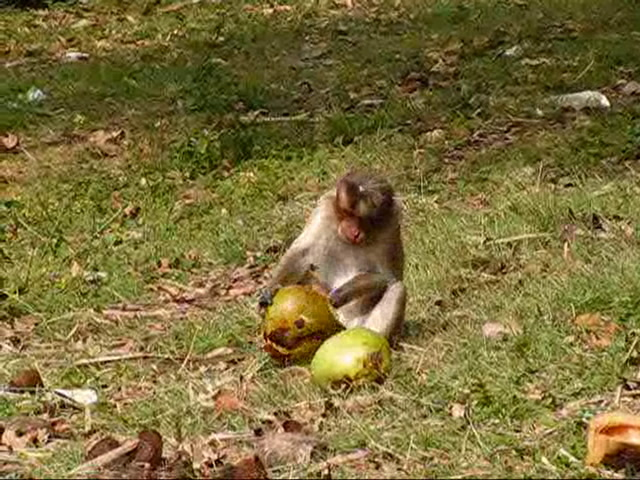 Bandipur National Park Videos-Monkeys on way to Bandipur
