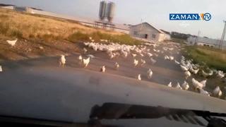 Çiftlik bombalandı; tavuklar özgür kaldı