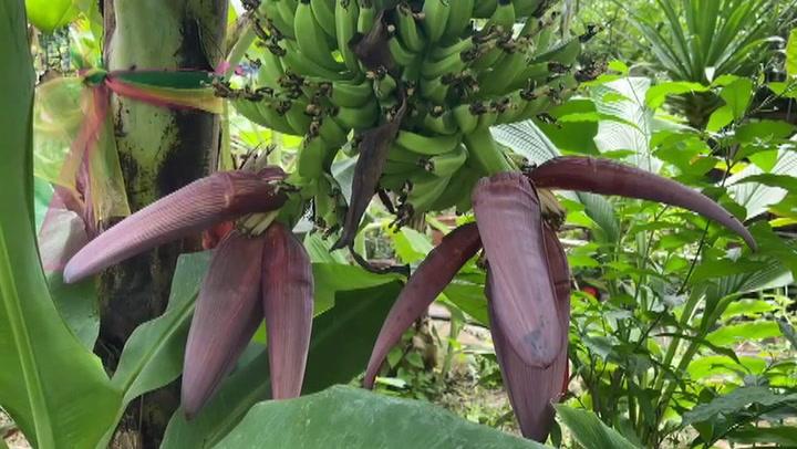 """ชาวบ้านขอโชคกล้วย 2 ปลี """"วัดธารอุทุมพร"""" เป็นที่พึ่งทางใจช่วงโควิด"""