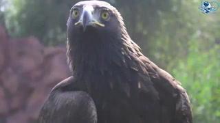 Águila real, rescate de un símbolo