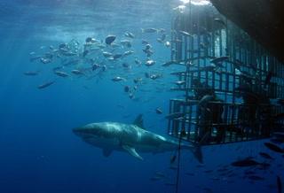 Diseñan nueva jaula para observar tiburón blanco en BC