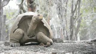 Recuperan especie de tortuga que se creía extinta
