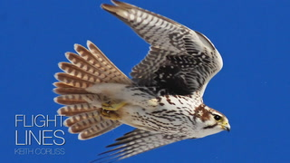 Cooper's hawks are arguably responsible for more misidentified raptors than any other species.Submitted.