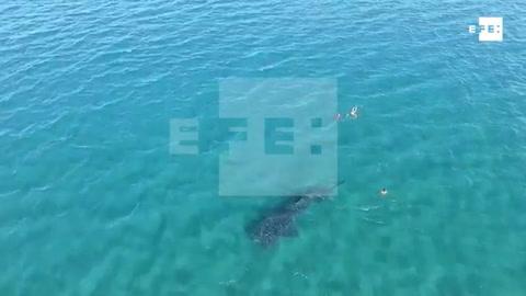 Nadar con tiburones ballena, una demandada experiencia que busca reducir impacto