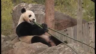 Trasladan a panda de zoológico de Washington a China