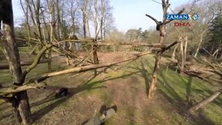 Şempanze insansız hava aracını böyle düşürdü