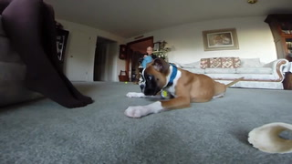 Duncan The Two Legged Boxer Plays Tug Of War!