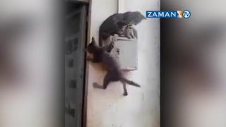 Yaramaz kedi, iki kediyi birden düşürdü