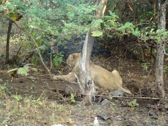 Sasan gir Videos-lioness in gir national park