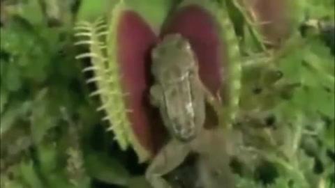 Impresionante: Planta Carnivora se traga ratón y rana