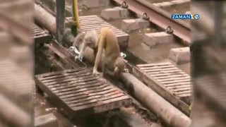 İnsanlar seyretti maymunu arkadaşı kurtardı