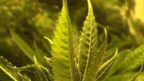 Perú aprueba uso medicinal de marihuana tras demanda ciudadana