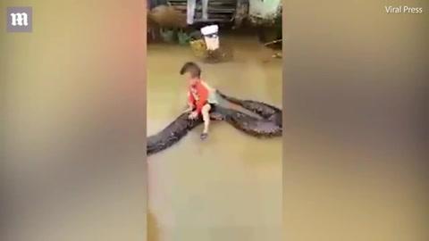 Dejan que niño monte una pitón de seis metros en el agua