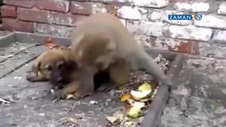 Yaramaz maymun yavru köpeği çileden çıkardı