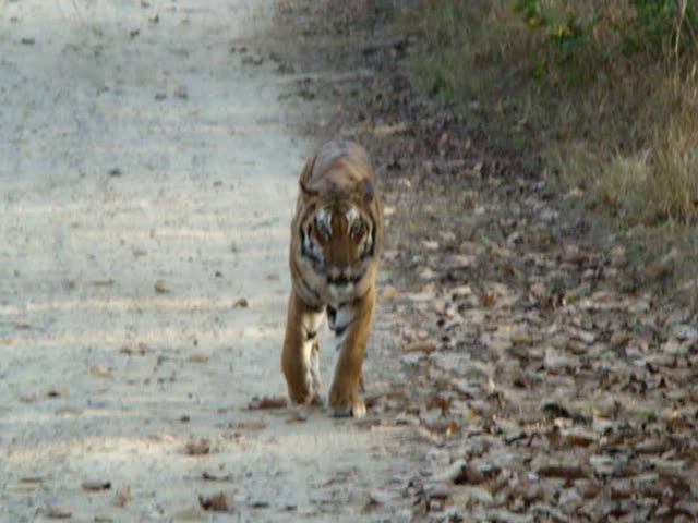 Corbett Videos-corbett tiger part-2