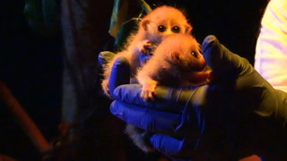 Pygmy Slow Loris Twins Born At Moody Gardens