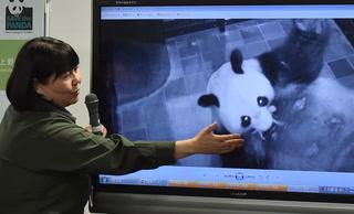 Nace un panda en Tokio por primera vez en cinco años