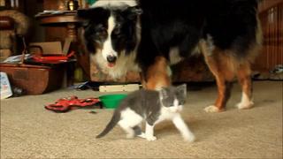 Goofy Kitten Plays With Dog (Keechak)