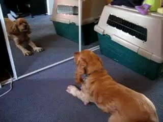 Cocker Spaniel Barks At Mirror... Cute! (Caninemanagement.Ca)