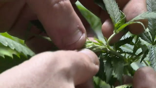 México aprueba uso medicinal de la marihuana