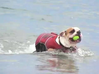 English Bulldog Swimming With A Life Vest