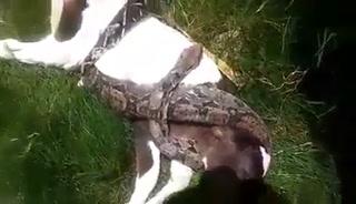 Pitón estrangula a un ternero en San Pedro de Copán, Honduras