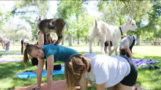 Nueva tendencia de yoga incluye a cabras