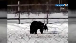 Rusya'da köpek ayının pençesinden zor kurtarıldı