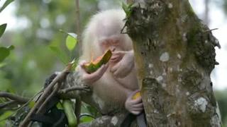 Orangutana albina vivirá en un área de selva protegida