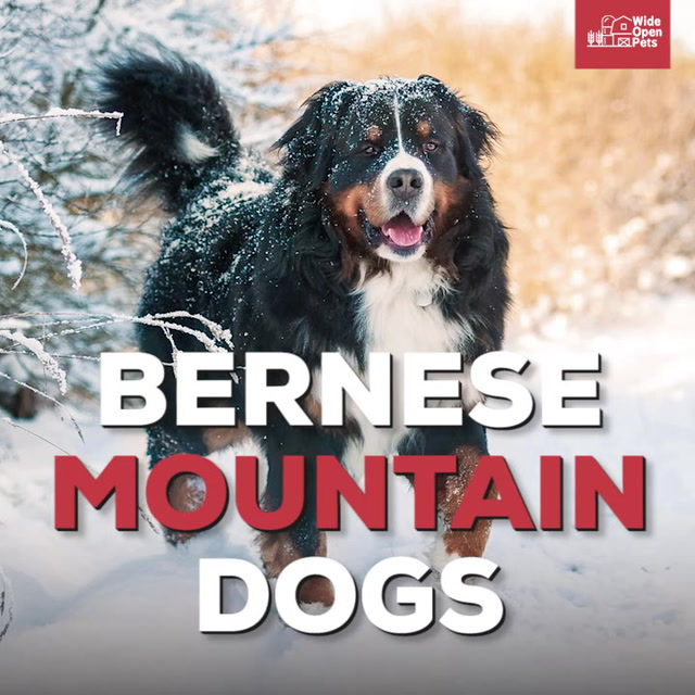 Bernese Mountain Dogs Everything You Need To Know About The Breed